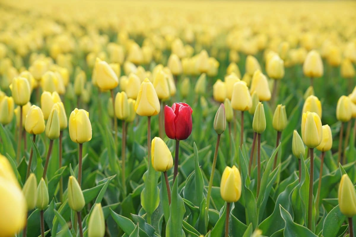 a red tulip standing out in a field of yellow tulips