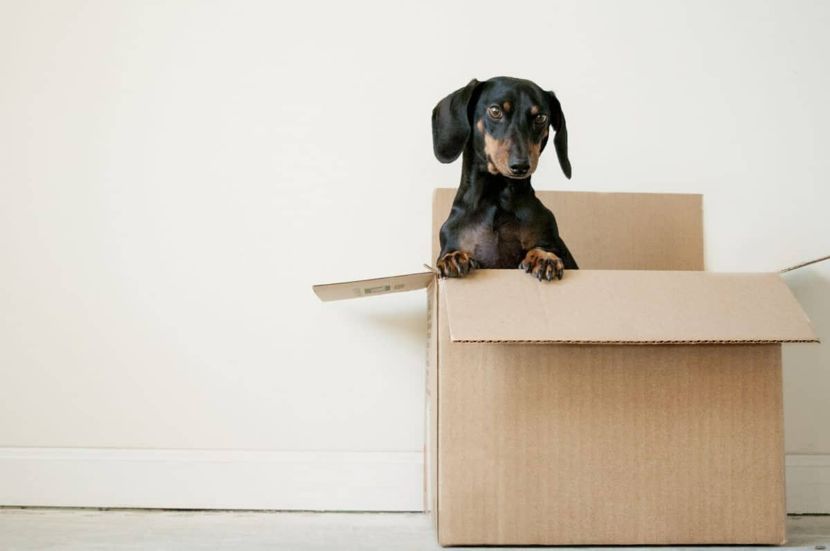 adorable Dachshund dog in a storage box