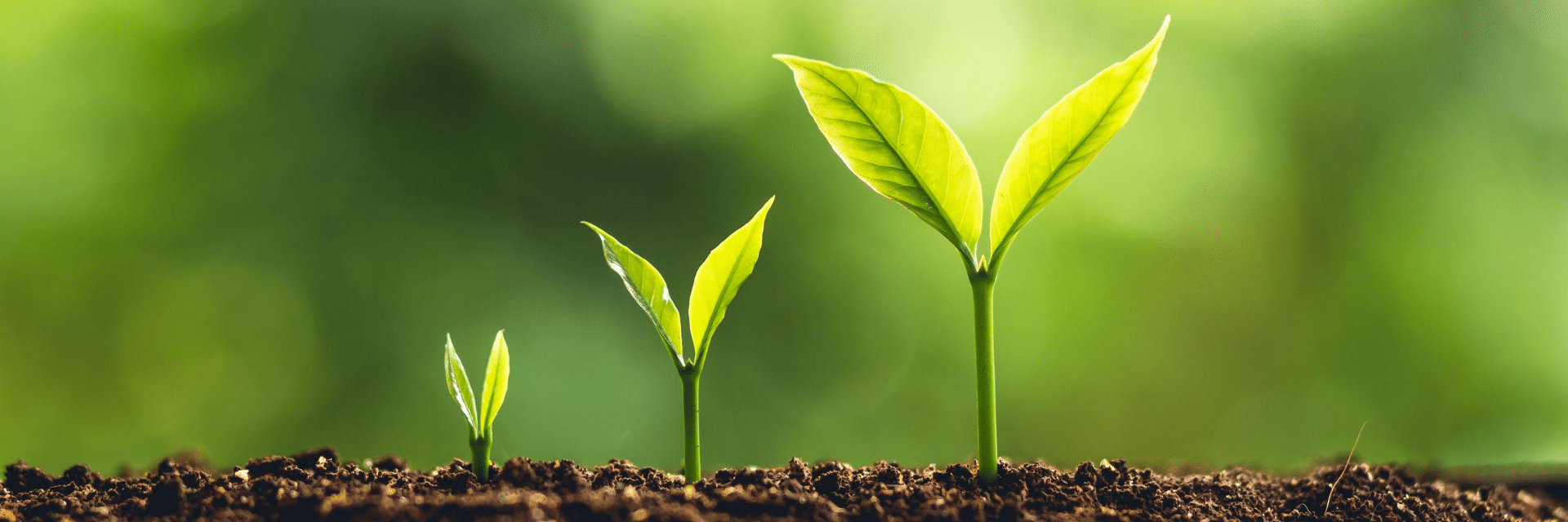 3 budding plants emerging from soil
