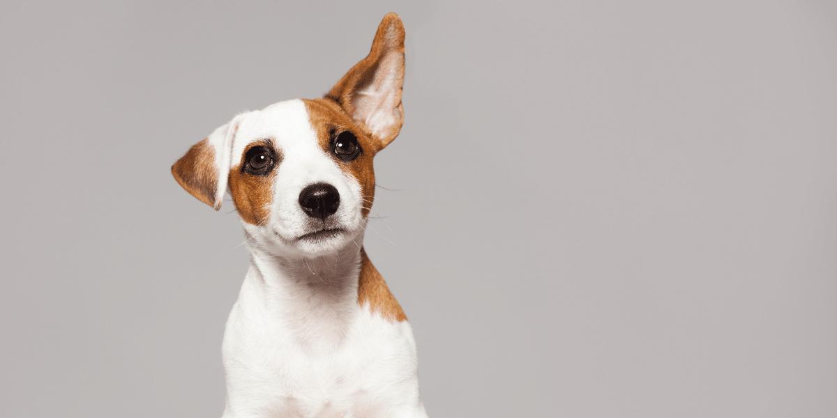 dog with ear raised